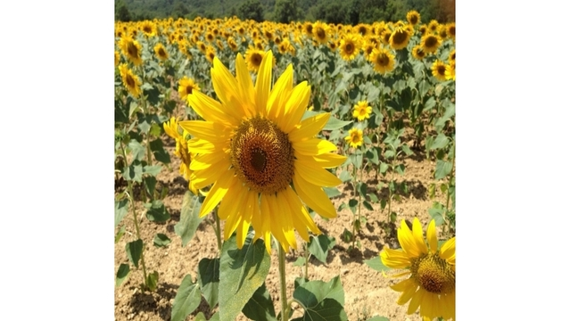 Police giving tickets to trespassers at sunflower field