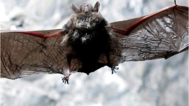 Officials seeing more Michigan bats infected with rabies