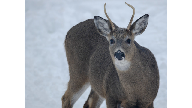 New Deer Regulations Being Considered For Upcoming Hunting